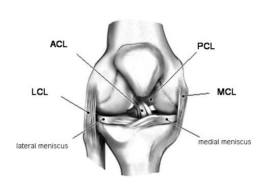 Figure 1a - Drawing of a right knee as viewed from the front.  The ACL helps to prohibit abnormal forward motion of the tibia under the femur.
