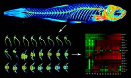 Neu­ro­mus­cu­lar Reg­u­la­tion of Bone in the Zebrafish Skeleton