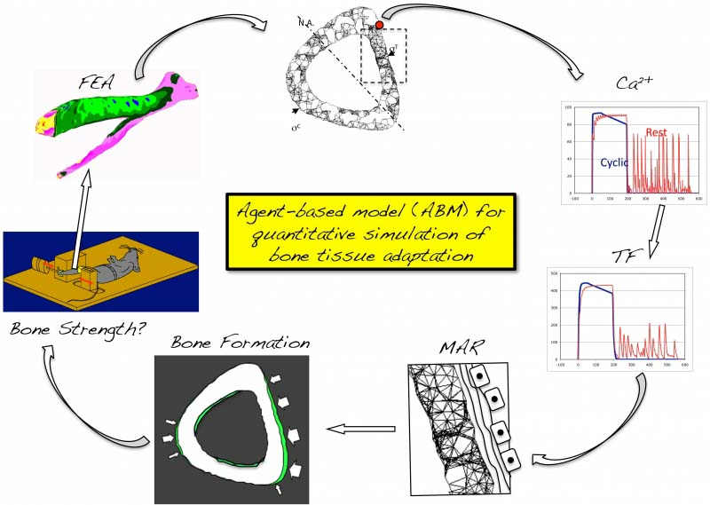 Agent based modeling of cell to cell signaling uw orthopaedics agent based modeling of cell to cell signaling schematic ccuart Image collections