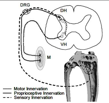 Neuromuscular control of bone homeostasis | UW Orthopaedics